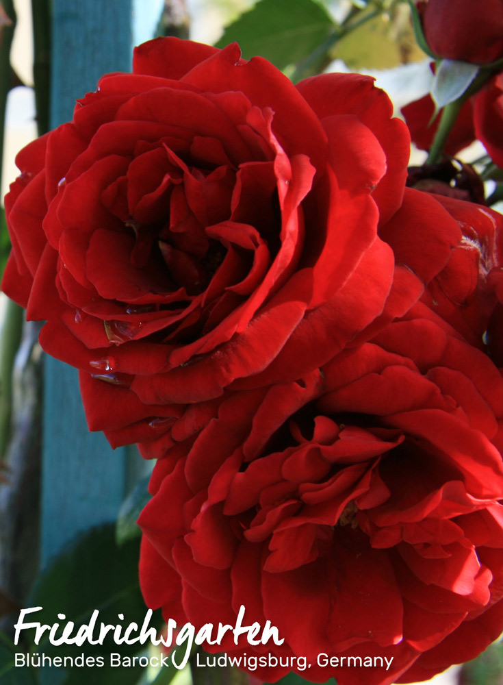 Roses from Friedrichsgarten in Blühendes Barocks, Ludwigsburg, Germany