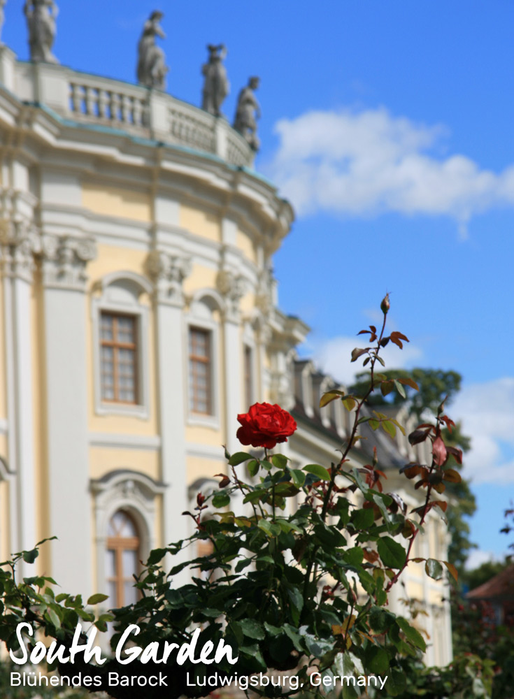 Red rose and facade of the palace | Blühendes Barock, Ludwigsburg, Germany