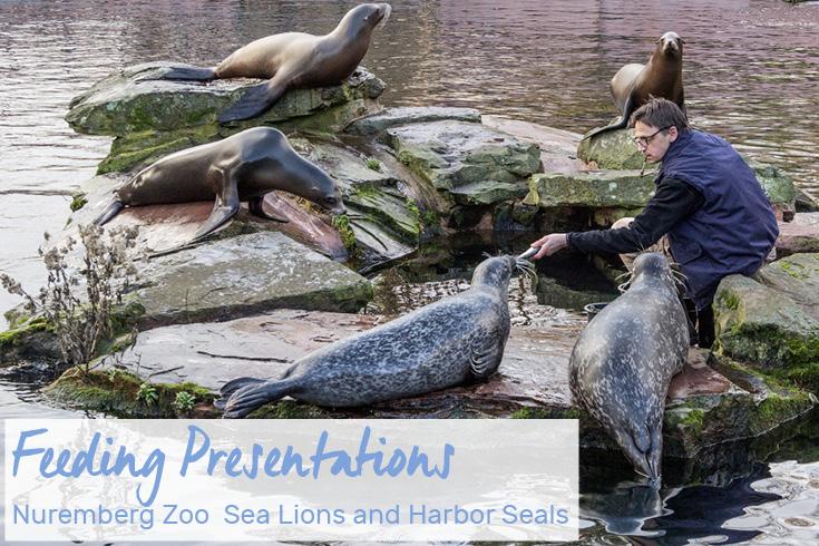Sea Lion & Harbor Seal Feeding Presentation at the Nuremberg Zoo, Germany