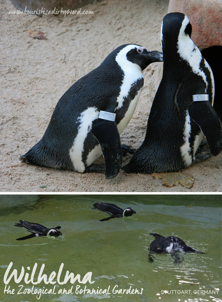 Wilhelma the Zoological and Botanical Gardens | Black Footed Penguins